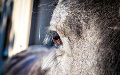 Horses eye